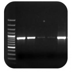 Phytophthora fragariae nested PCR